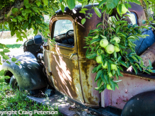 Truck in apple orchard